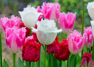 Fringed Tulip 'Dallas' (Pink) and Tulipa 'Swan Wings' (White) and Tulipa 'Valery Gergiev' (red) growing in garden border. England, UK.  -  Ernie  Janes