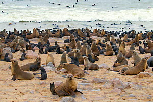 Brown fur seal (Arctocephalus pusillus) hauled out at Cape Cross Seal Colony, Namibia  -  Ernie  Janes