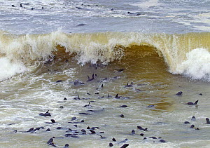 Brown fur seals (Arctocephalus pusillus) in surf on coast at Cape Cross seal colony, Namibia  -  Ernie  Janes