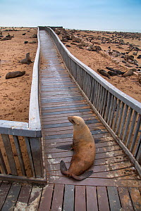 Brown fur seal (Arctocephalus pusillus) hauled out on board walk in Cape Cross seal colony, Namibia  -  Ernie  Janes