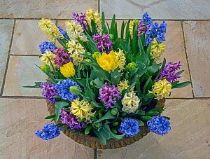 Hyacinths (Hycinthus) and tulips in flower in container, Norfolk, England, UK, March.  -  Ernie  Janes