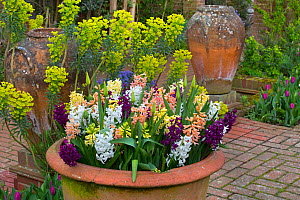 Mediterranean spurge (Euphorbia characias)  and Hyacinths in flower growing in container pots, Norfolk, England, UK, March.  -  Ernie  Janes