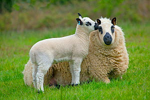 Kerry Hill domestic sheep, ewe and lamb. England, UK.  -  Ernie  Janes