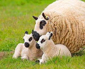 Kerry Hill domestic sheep, ewe and lambs England, UK.  -  Ernie  Janes