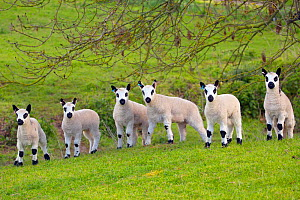 Kerry Hill domestic sheep, six spring lambs. England, UK.  -  Ernie  Janes