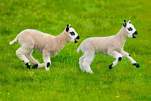 Kerry Hill domestic sheep, spring lambs running,  England, UK.  -  Ernie  Janes