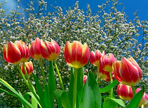 Cultivated tulips (Tulipa) with Apple blossom (Malus domestica) in background. April. England, UK.  -  Ernie  Janes