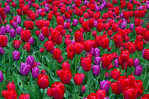 Cultivated tulips (Tulipa) red and purple flowered varieties in garden. England, UK.  -  Ernie  Janes