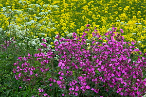 Red campion (Silene dioica) and Cow parsely (Anthriscus sylvestris) growing at edge of  Oilseed rape (Brassica napus) crop  field. England, UK. - Ernie  Janes