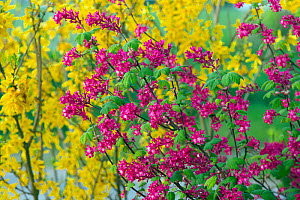Flowering Red currant (Ribes sanguineum) and Forsythia (Forsythia � intermedia) in garden,  England, UK.  -  Ernie  Janes
