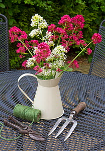 Red valerian flowers (Centranyhus ruber) in jug and and garden tools on table. England, UK. - Ernie  Janes