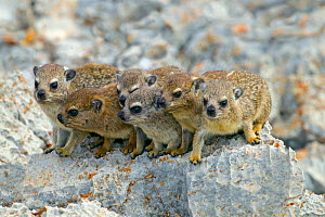 Rock hyrax (Procavia capensis) family on rock, Namibia.  -  Ernie  Janes