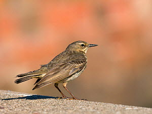 Rock pipit (Anthus petrosus)   Firth of Forth, East Lothian, Scotland, UK, June.  -  Ernie  Janes