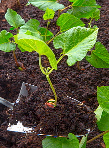 Runner bean (Phaseolus coccineus)  seedling ready to be planted in garden. Norfolk, England, UK. May. - Ernie  Janes