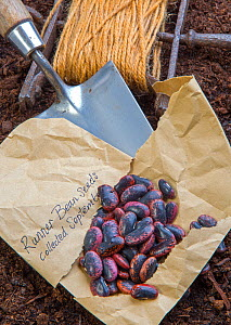 Runner bean (Phaseolus coccineus) seeds ready for planting. England, UK. - Ernie  Janes