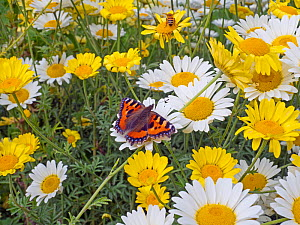 Small tortoiseshell butterfly (Aglais urticae) feeding on garden daises. England, UK. July.  -  Ernie  Janes