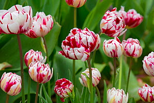 Tulip 'Carnaval de Nice' growing in garden border. England, UK.  -  Ernie  Janes