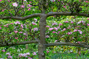 Apple trees (Malus domestica) fan trained or espalier style along garden border. England, UK. May.  -  Ernie  Janes