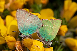 Green Hairstreak butterflies (Callophrys rubi) mating, Sark, British Channel Islands, April.  -  Sue Daly