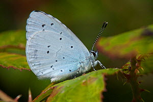 Holly blue butterfly (Celastrina argiolus), Sark, British Channel Islands, August.  -  Sue Daly