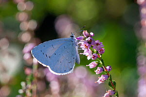 Holly blue butterfly (Celastrina argiolus) on heather, Sark, British Channel Islands, August.  -  Sue Daly