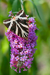 Jersey tiger moth (Euplagia quadripunctaria) on buddleia, Sark, British Channel Islands, August.  -  Sue Daly