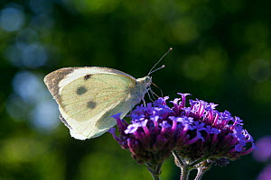 Large white butterfly (Pieris brassicae), Sark, British Channel Islands, August.  -  Sue Daly