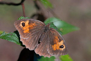 Meadow brown butterfly (Maniola jurtina), Sark, Channel Islands, August. - Sue Daly