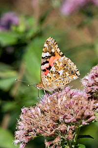 Painted lady butterfly (Vanessa cardui), Sark, British Channel Islands, August. - Sue Daly