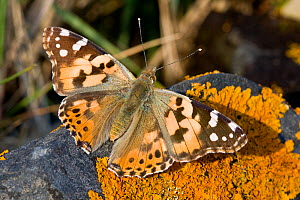 Painted lady butterfly (Vanessa cardui), Sark, British Channel Islands, May 2009 - Sue Daly