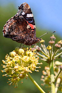 Red admiral butterfly (Vanessa atalanta) feeding on ivy, Sark, British Channel Islands, October.  -  Sue Daly