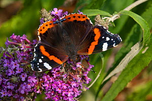 Red admiral butterfly (Vanessa atalanta) feeding on ivy, Sark, British Channel Islands, August.  -  Sue Daly