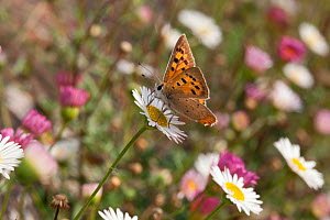 Small copper butterfly (Lycaena phlaeus), Sark, Biritsh Channel Islands, August.  -  Sue Daly