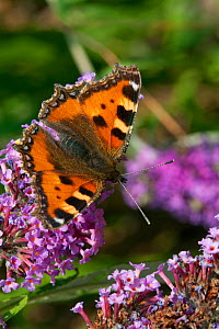 Small tortoiseshell butterfly (Aglais urticae) on buddleia, Sark, British Channel Islands, August.  -  Sue Daly