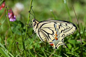 Swallowtail butterfy (Papilio machaon), Sark, British Channel Islands, July. - Sue Daly