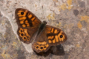 Wall butterfly (Lasiommata megera), Sark, British Channel Islands, May. - Sue Daly