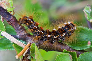 Brown-tail tussock moth caterpillar (Euproctis chrysorrhoea), Sark, British Channel Islands, May.  -  Sue Daly