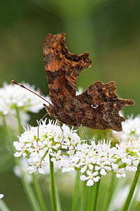 Comma Butterfly (Polygonia c-album), Jersey, British Channel Island, May.  -  Sue Daly