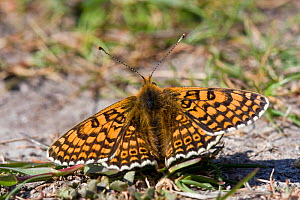 Glanville fritillary  butterfly (Melitaea cinxia), Alderney, British Channel Islands, May. - Sue Daly
