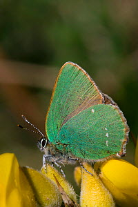 Green hairstreak butterfly (Callophrys rubi), Sark, British Channel Islands, April.  -  Sue Daly