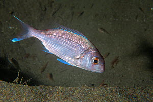 Couch's Bream (Pagrus pagrus) Sark, British Channel Islands, August. - Sue Daly