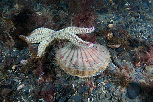 Spiny Starfish (Marthasterias glacialis) preying on Scallop (Pecten maximus) Isle of Man, July.  -  Sue Daly