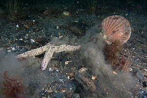 Scallop (Pecten maximus) escaping from Spiny Starfish (Marthasterias glacialis) Isle of Man, July.  -  Sue Daly