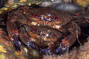 Velvet swimming crabs (Necora puber)  mate guarding - male guarding female prior to mating Isle of Man, July 2015  -  Sue Daly