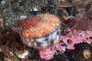Queen scallop (Aequipecten opercularis) Isle of Man, July.  -  Sue Daly