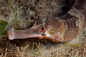 Greater pipefish (Syngnathus acus) Jersey, British Channel Islands, June.  -  Sue Daly
