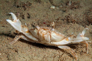 Marbled swimming crab (Liocarcinus marmoreus) Jersey, British Channel Islands, June.  -  Sue Daly