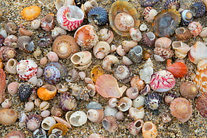 Various shells on Shell Beach, Herm, British Channel Islands, June 2016  -  Sue Daly