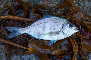 Black Bream (Spondyliosoma cantharus) washed up on shore, Sark, British Channel Islands, August. - Sue Daly