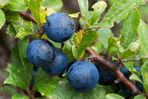 Sloes, blackthorn fruit, (Prunus spinosa), Sark, British Channel Islands, October.  -  Sue Daly